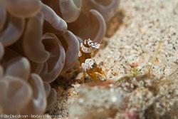 BD-141021-Bali-5756-Thor-amboinensis-(de-Man.-1888)-[Sqat-anemone-shrimp].jpg